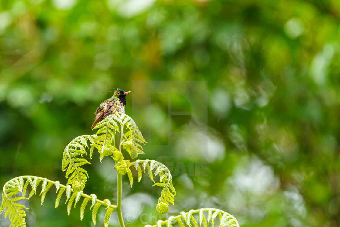 """Black-crested Coquette (Lophornis helenae) hummingbird in Costa Rica"" stock image"