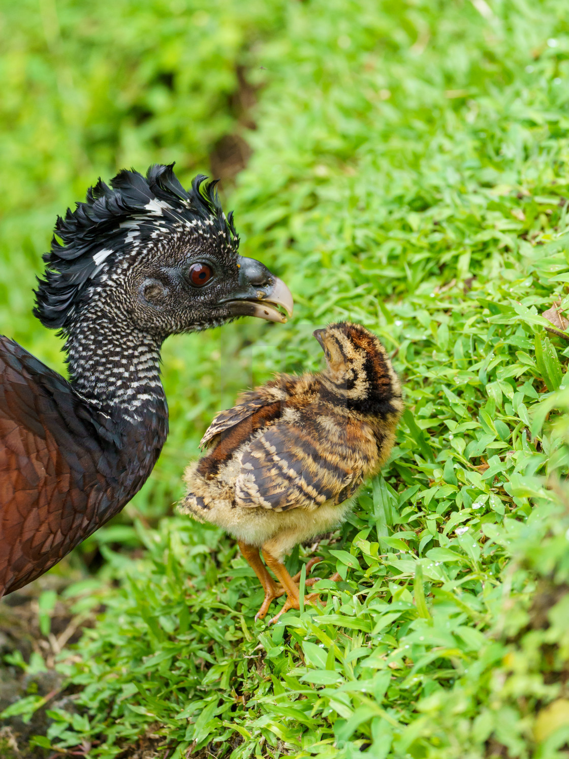 """Great Curassow (Crax rubra) female with chick, taken in Costa Rica"" stock image"