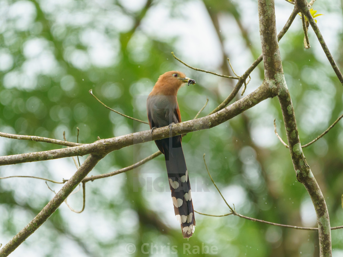 """Squirrel Cuckoo (Piaya cayana), in Costa Rica"" stock image"