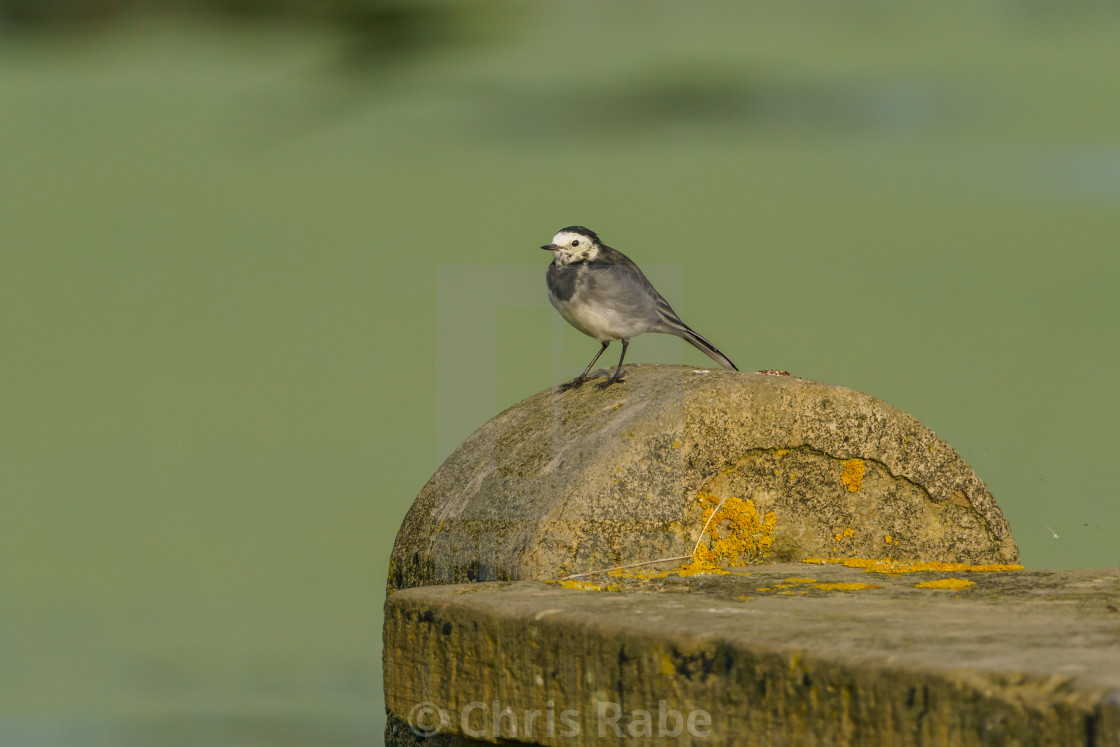 """White Wagtail (Motacilla alba) , taken in the UK"" stock image"