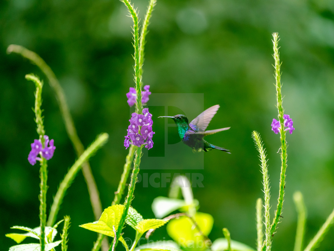 """violet-crowned woodnymph (Thalurania colombica colombica) in Costa Rica"" stock image"
