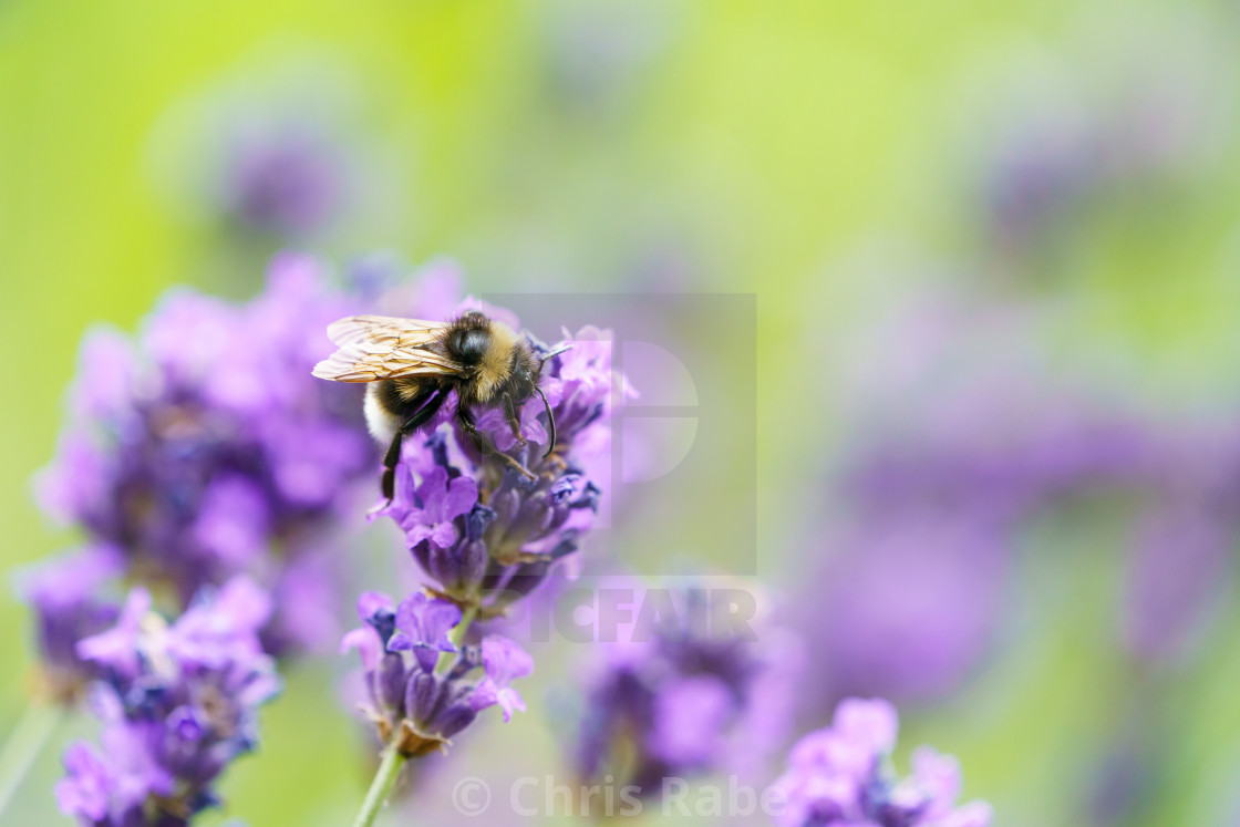 """White-Tailed Bumblebee (Bombus lucorum), taken in the UK"" stock image"