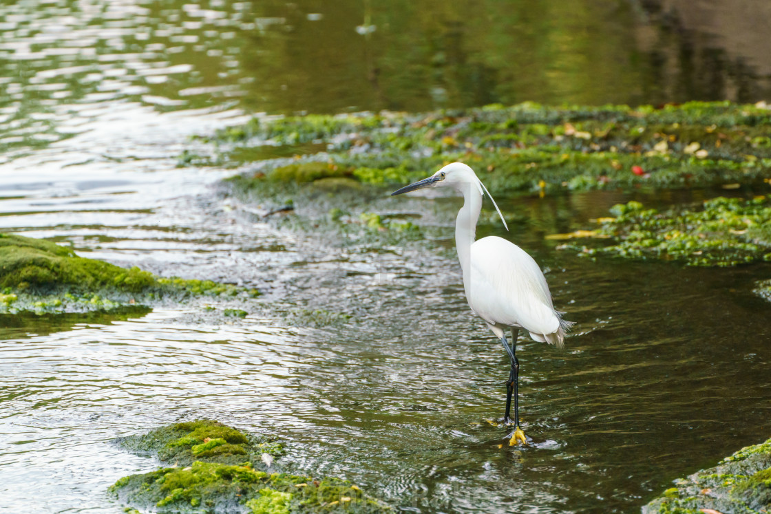 """Little Egret (Egretta garzetta) hunting in a small river, taken in the UK"" stock image"
