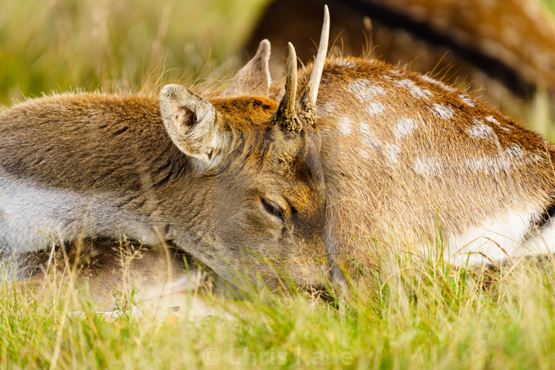"""Young male Fallow Deer (Dama dama), taken in UK"" stock image"