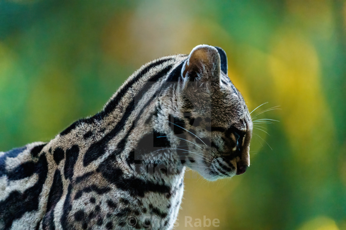 """Female Margay (Leopardus wiedii) early morning in forest in Csota Rica"" stock image"