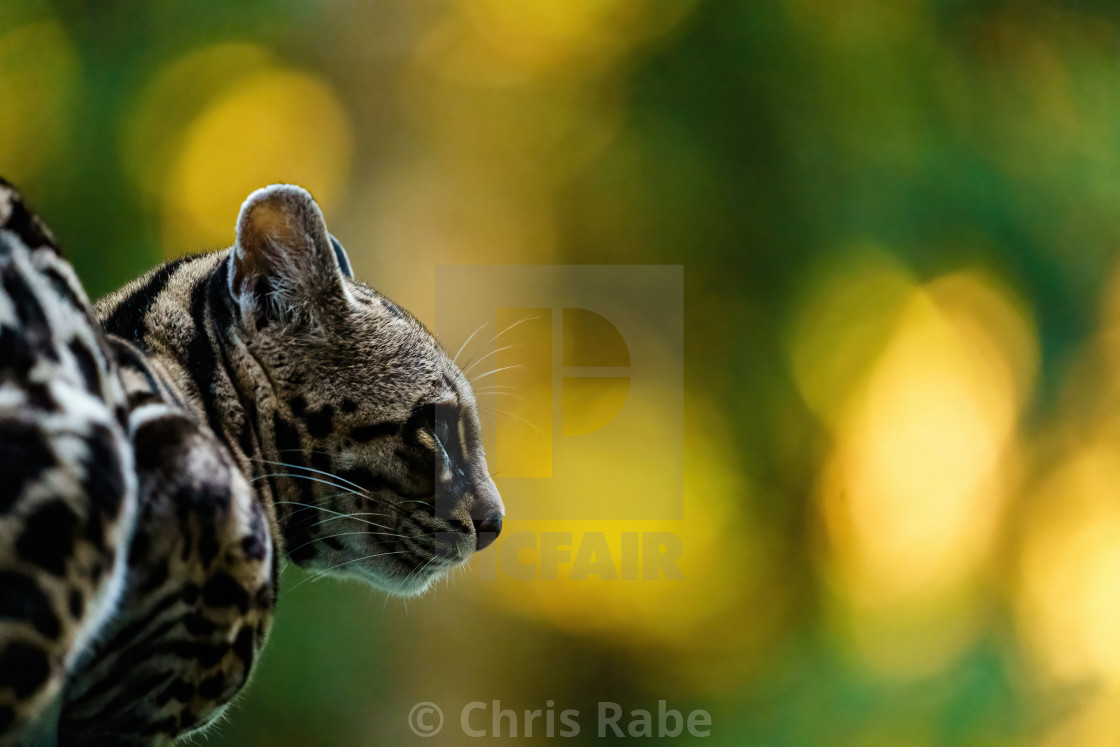 Female Margay (Leopardus wiedii) early morning in forest in Csota Rica