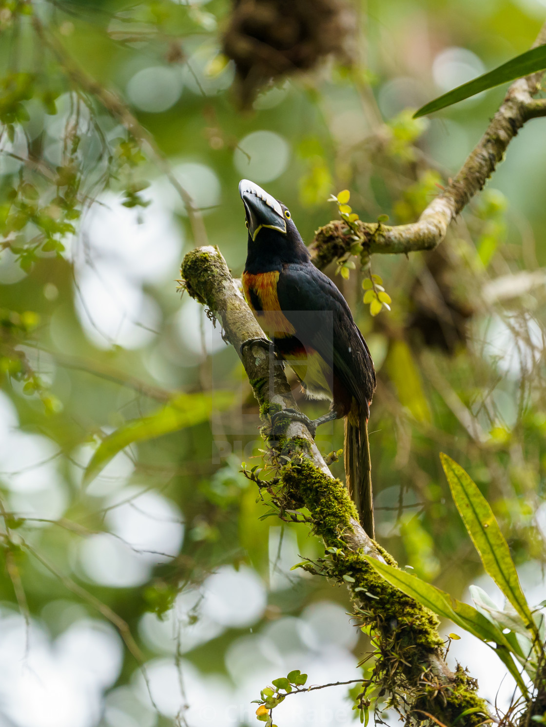 """Collared Aracari (Pteroglossus torquatus) perche din a tree, taken in Costa Rica"" stock image"