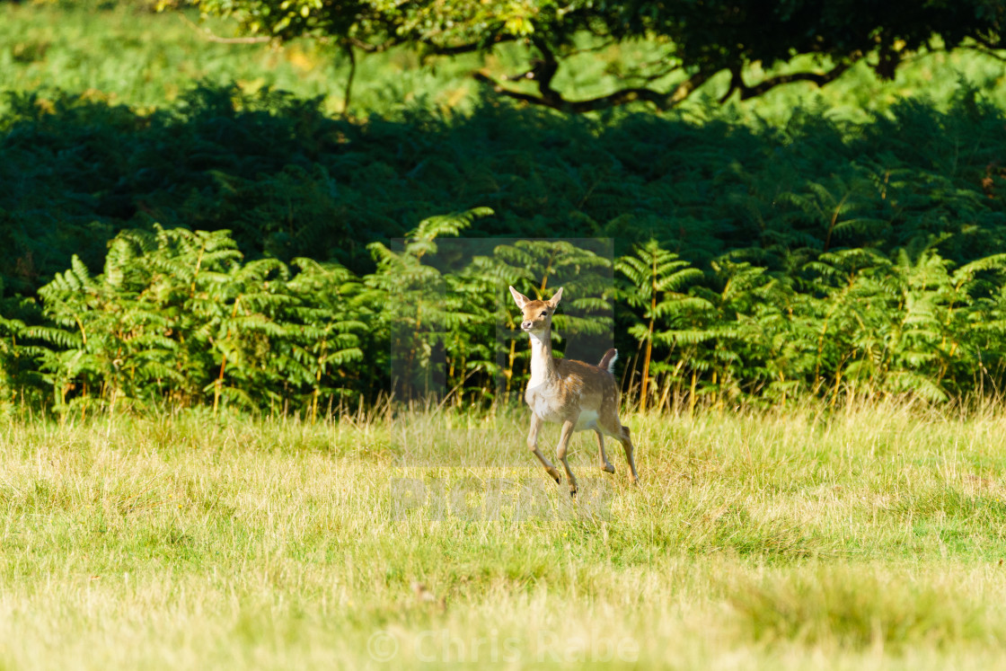 """Fallow Deer Fawn (Dama dama) hopping over fields, taken in UK"" stock image"