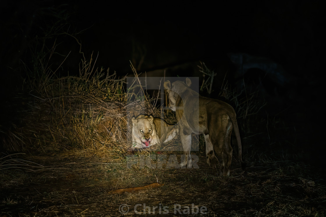 """Two female Lions (Panthera Leo) eating a kill at night, in Kruger PArk South..."" stock image"