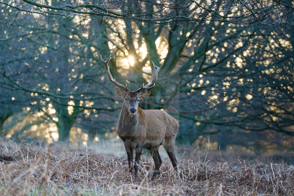 """Red deer stag(Cervus elaphus), taken in United Kingdom"" stock image"