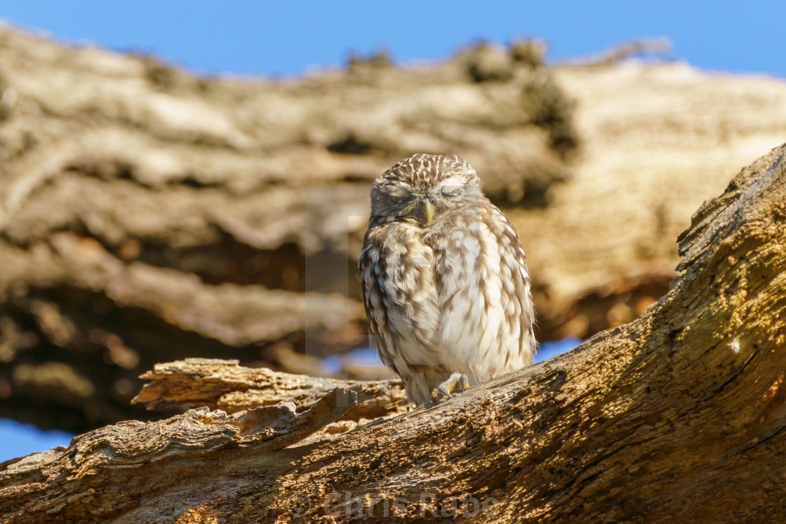 """Little Owl (Athene noctua) perched on a large tree branch, taken in the UK"" stock image"