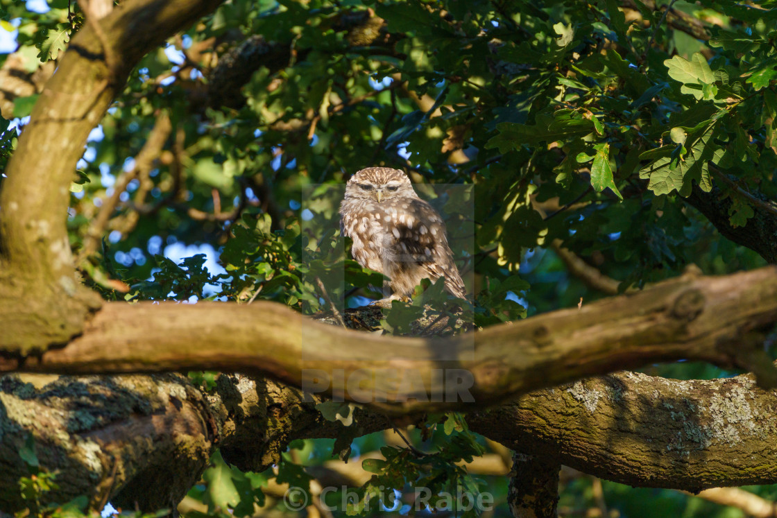 """Little Owl (Athene noctua) surrounded by leaves in a tree, taken in the UK"" stock image"