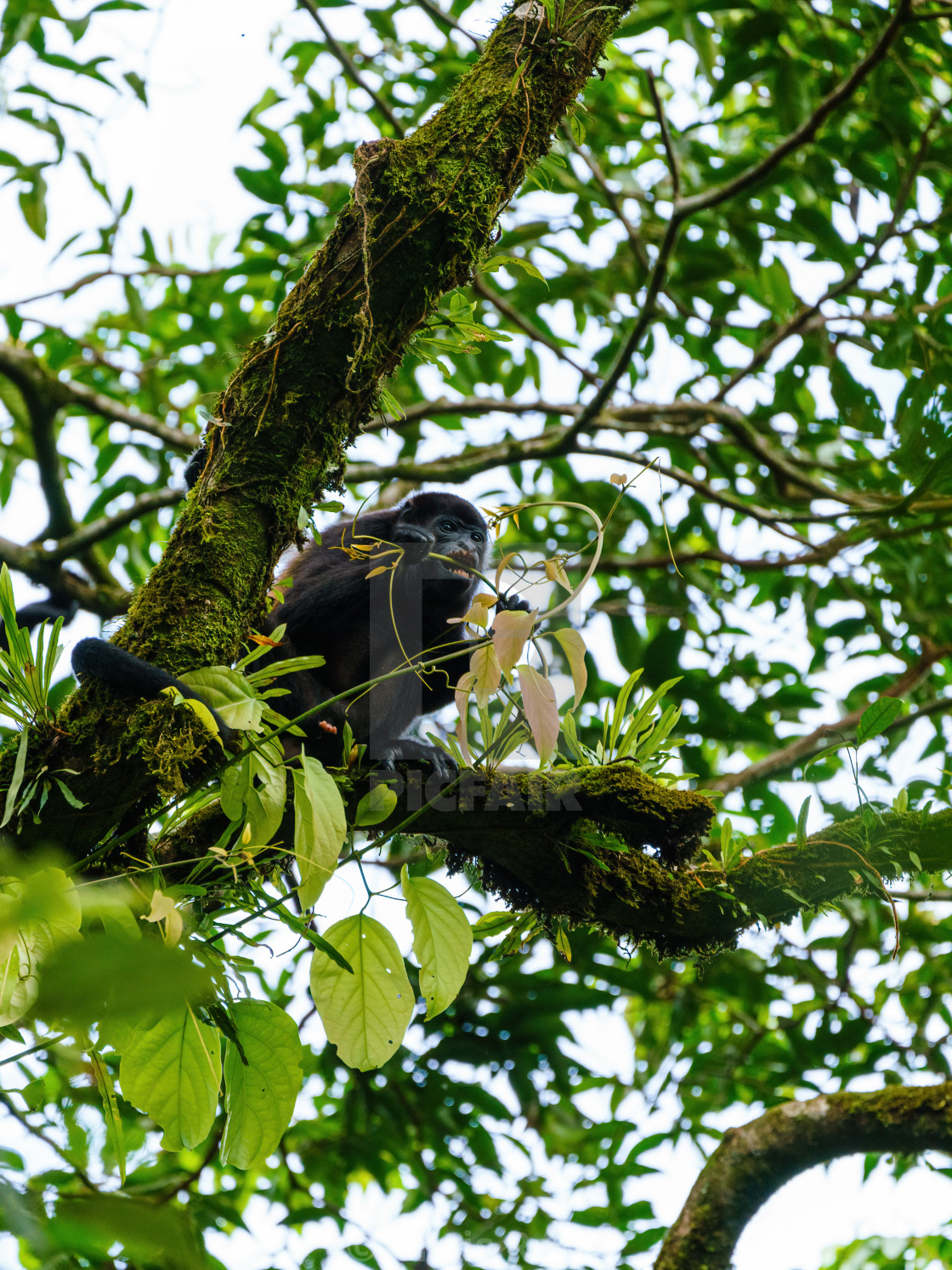 """Howler Monkey (Alouatta guariba) taken in Costa Rica"" stock image"