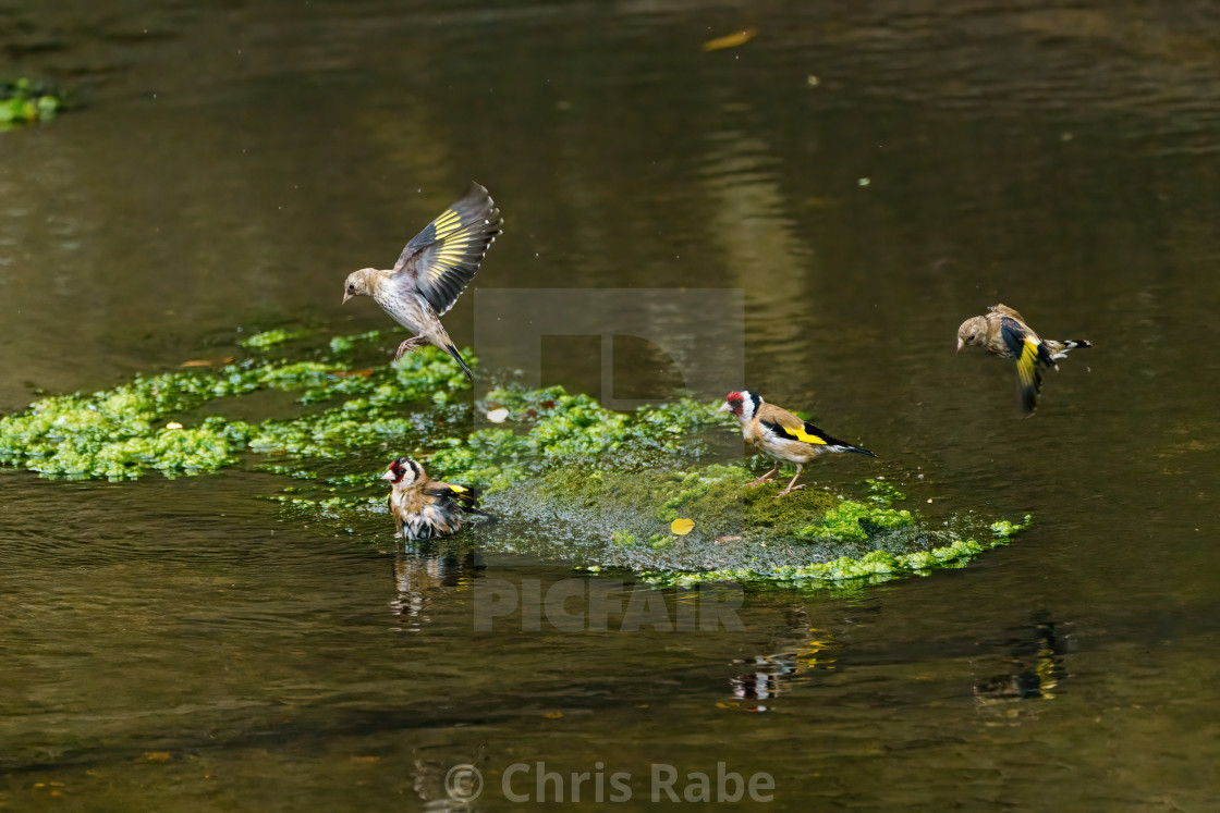 """European Goldfinch (Carduelis carduelis) bathing in a small river in the UK"" stock image"