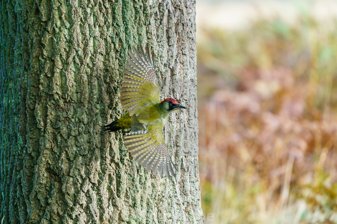 """Green Woodpecker (Picus viridis) taking off from a tree, taken in the UK"" stock image"