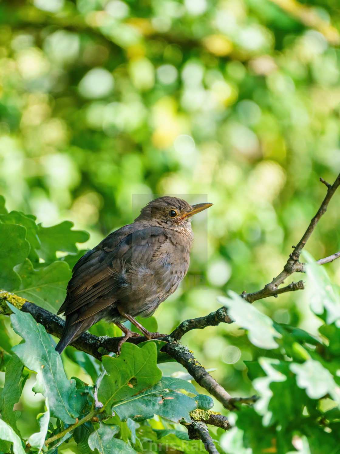 """Blackbird (Turdus merula), taken in the UK"" stock image"