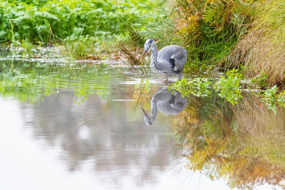 """Grey Heron (Ardea cinerea), taken in UK"" stock image"