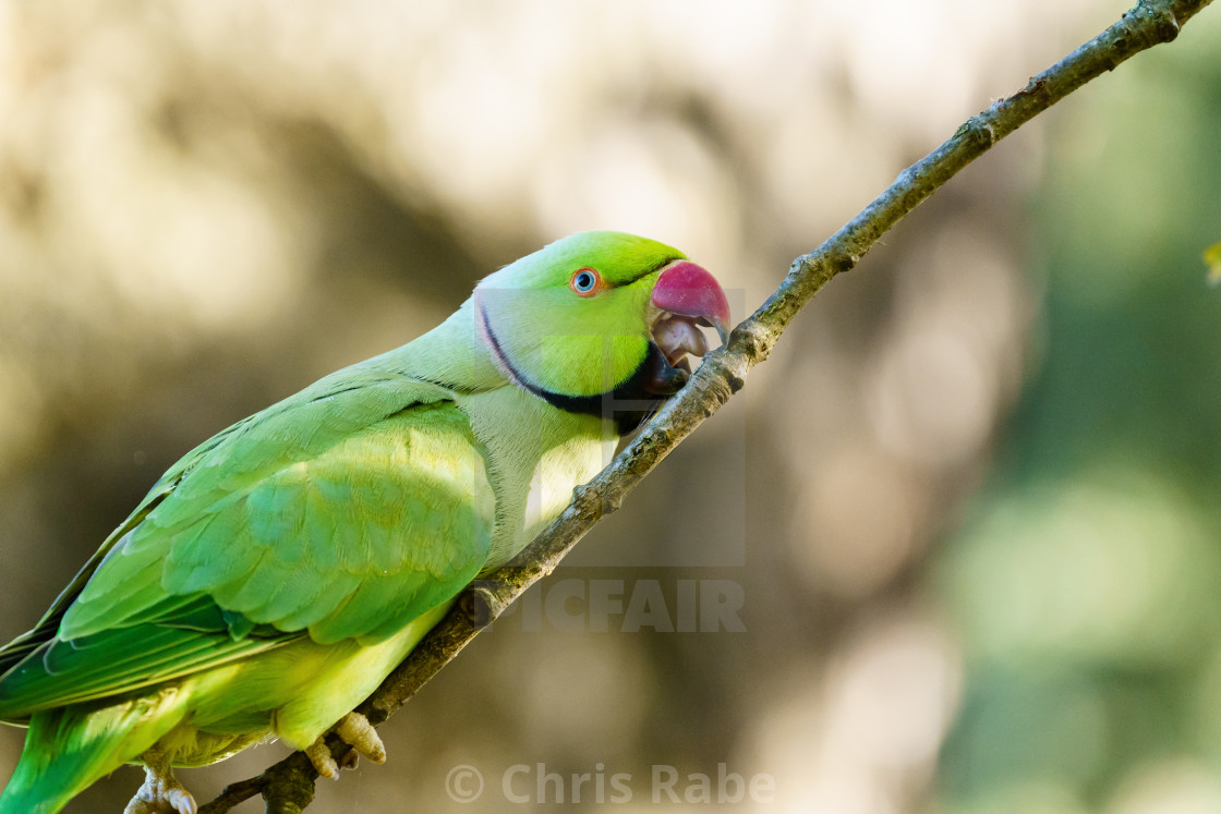 """Ring-necked parakeet (Psittacula krameri) perched on small branch,in the UK"" stock image"