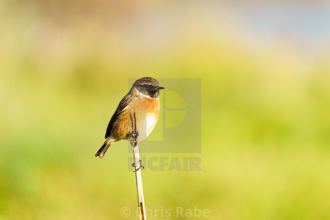 """Stonechat (Saxicola torquata), taken in the UK"" stock image"