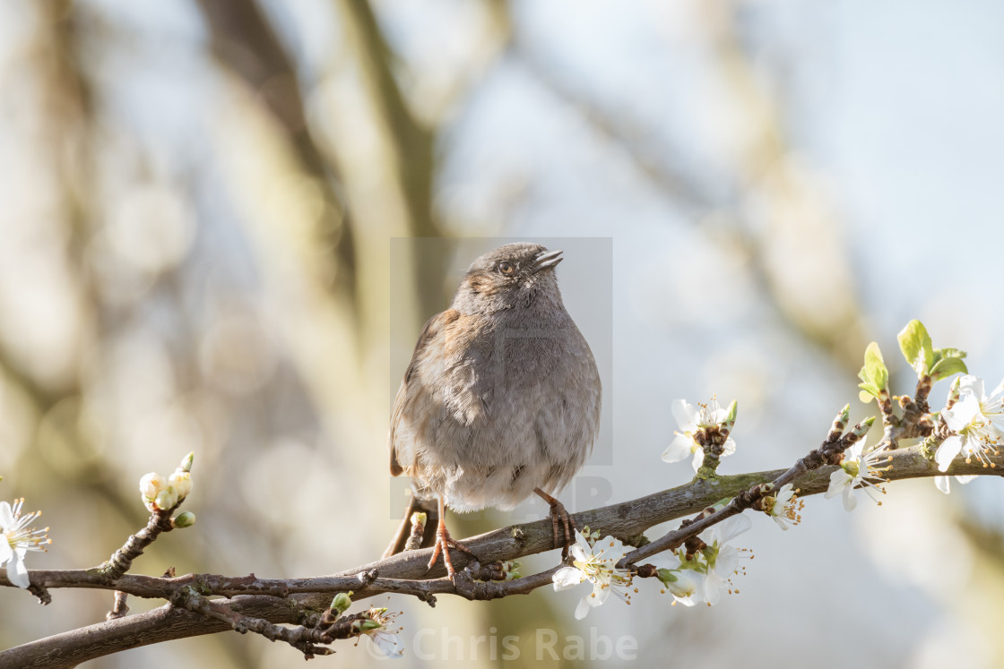 """Dunnock (Prunella modularis), taken in the UK"" stock image"