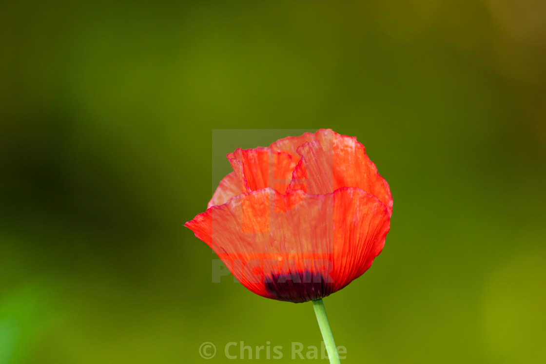 """Bright red Poppy flower taken in the UK"" stock image"