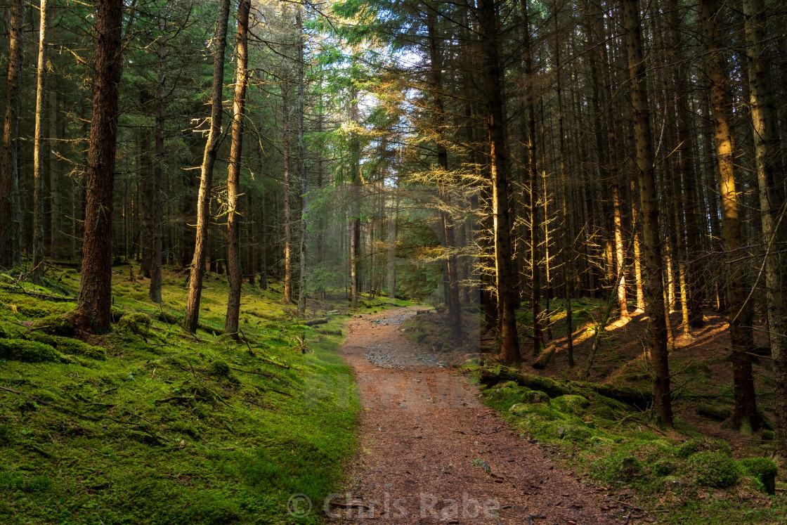 """A pine forest along the Cateran trail in Perthshire, Scotland"" stock image"