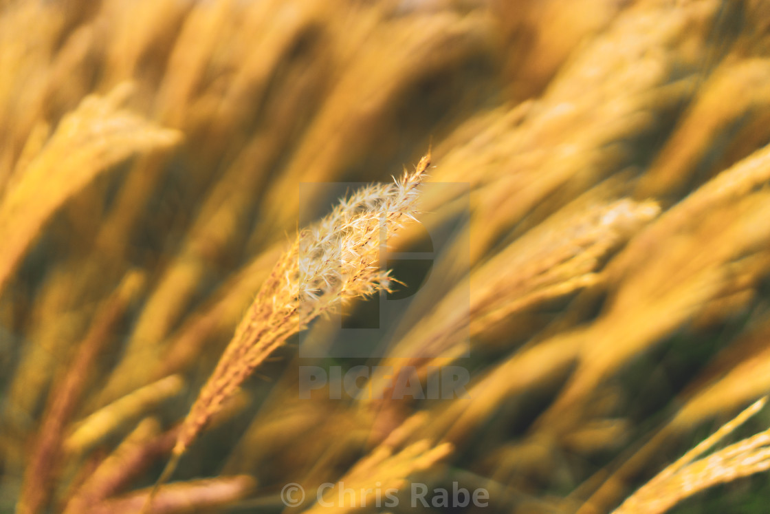 """Grass blowing in the wind, with just central blades in focus"" stock image"