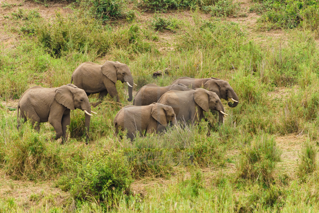"""African Elephant (Loxodonta africana) herd moving through long grass, taken..."" stock image"