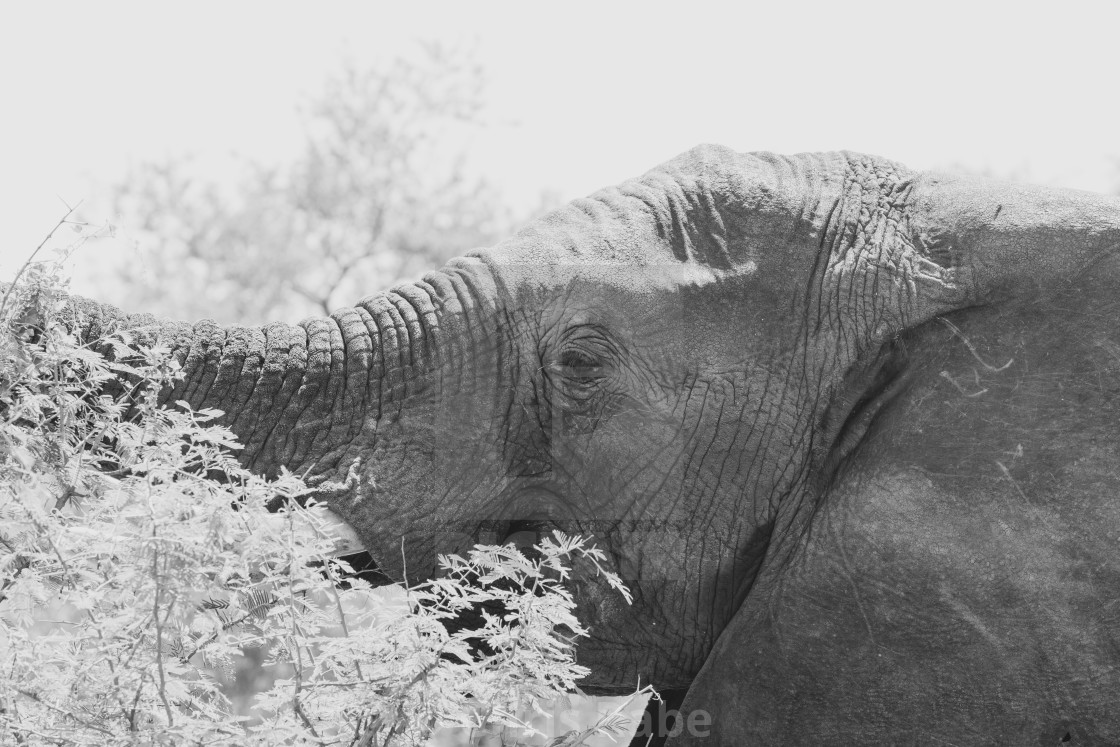 """African Elephant (Loxodonta africana) portrait in black and white"" stock image"