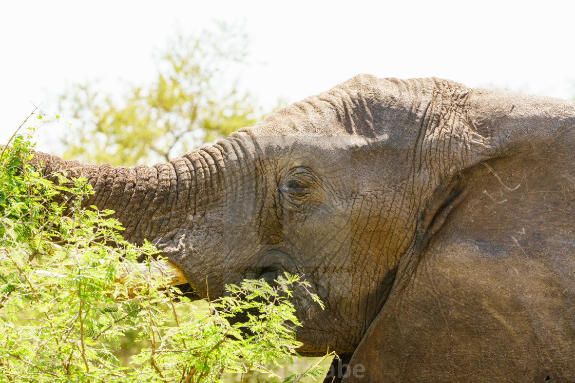 """African Elephant (Loxodonta africana) portrait, taken in South Africa"" stock image"