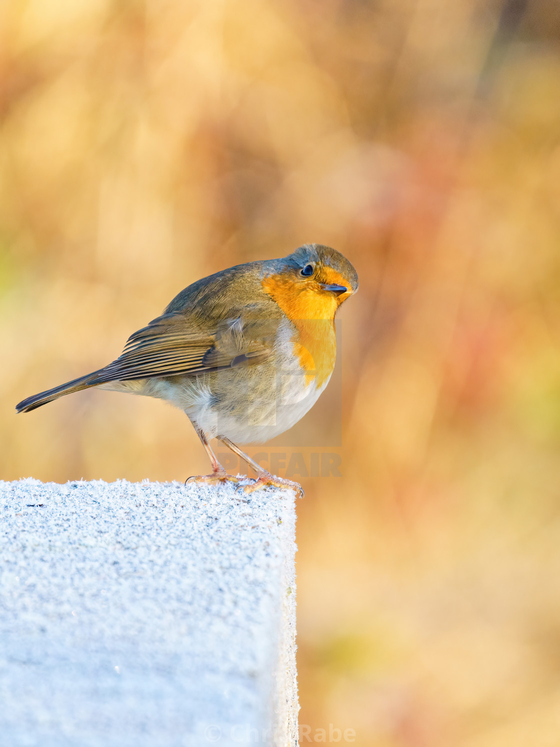 """European Robin (Erithacus rubecula) perched on a frosty concrete block,..."" stock image"