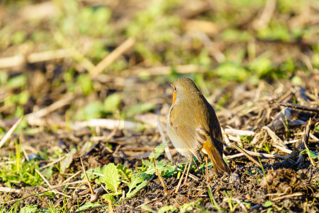"""European Robin (Erithacus rubecula) searching the ground for food, taken in..."" stock image"