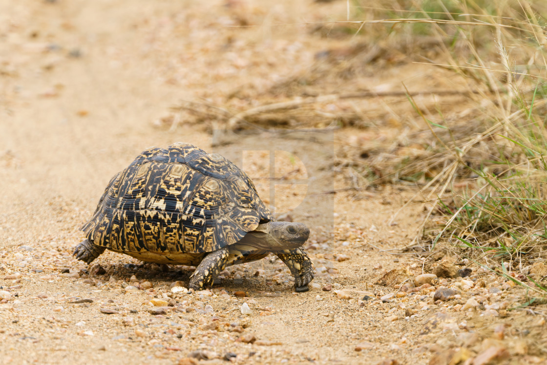 """Leopard Tortoise (Stigmochelys pardalis), taken in South Africa"" stock image"