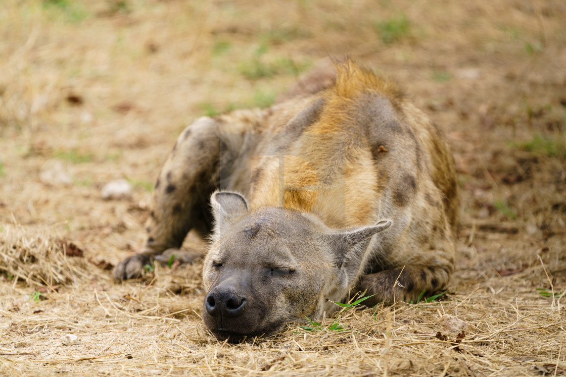 """Spotted Hyena (Crocuta crocuta) resting, taken in South Africa"" stock image"