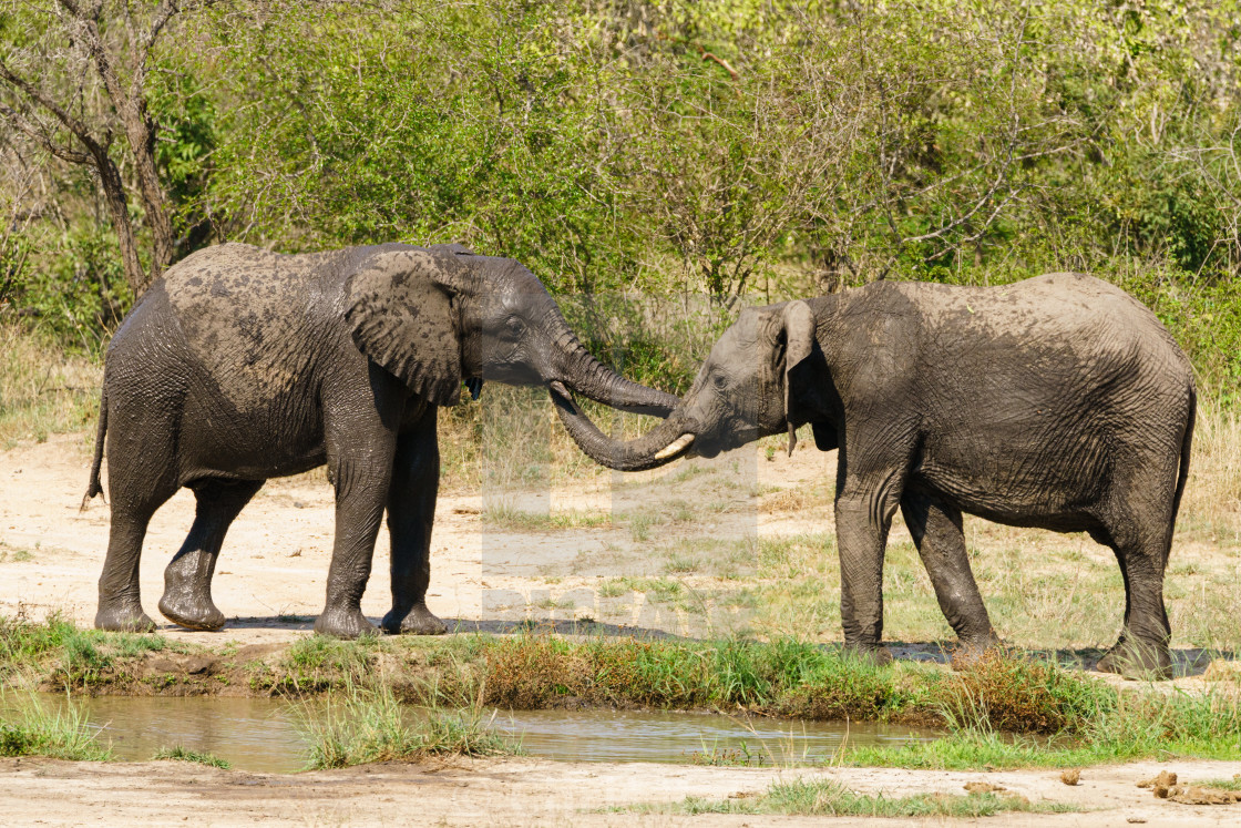 """Pair of young African Elephant (Loxodonta africana) at watering hole"" stock image"