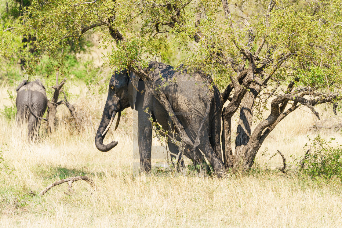 """African Elephant (Loxodonta africana) having a good rub between two tree..."" stock image"