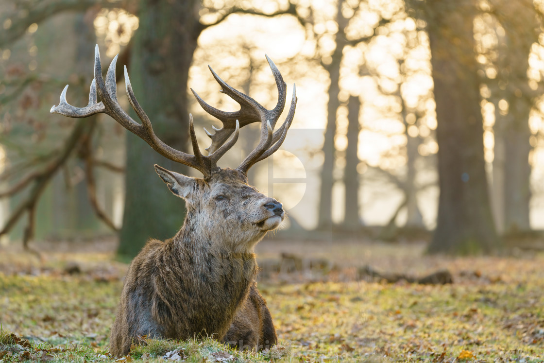"""Red deer (Cervus elaphus) stag in early morning light, taken in United Kingdom"" stock image"