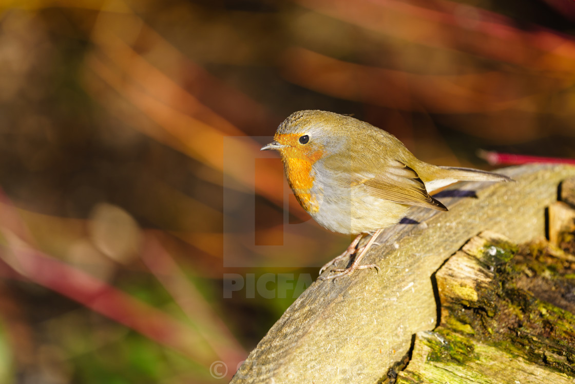 """European Robin (Erithacus rubecula) on the side of a bench in early morning..."" stock image"