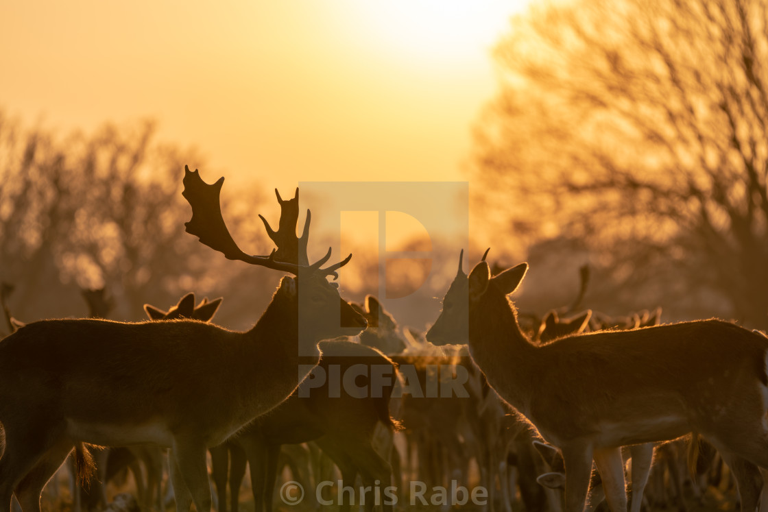 """Fallow Deer (Dama dama) at sunrise, taken in UK"" stock image"