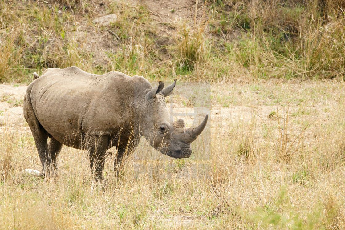 """White Rhinoceros (Ceratotherium simum) in Kruger Park, South Africa"" stock image"