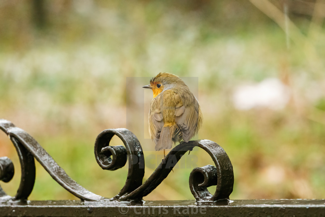 """European Robin (Erithacus rubecula) perched on a gate on cold winter morning"" stock image"