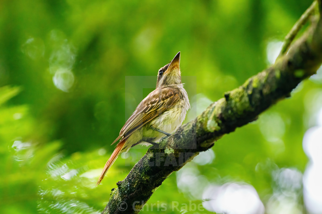 """Grey-streaked Flycatcher (Muscicapa griseisticta) taken in Costa Rica"" stock image"