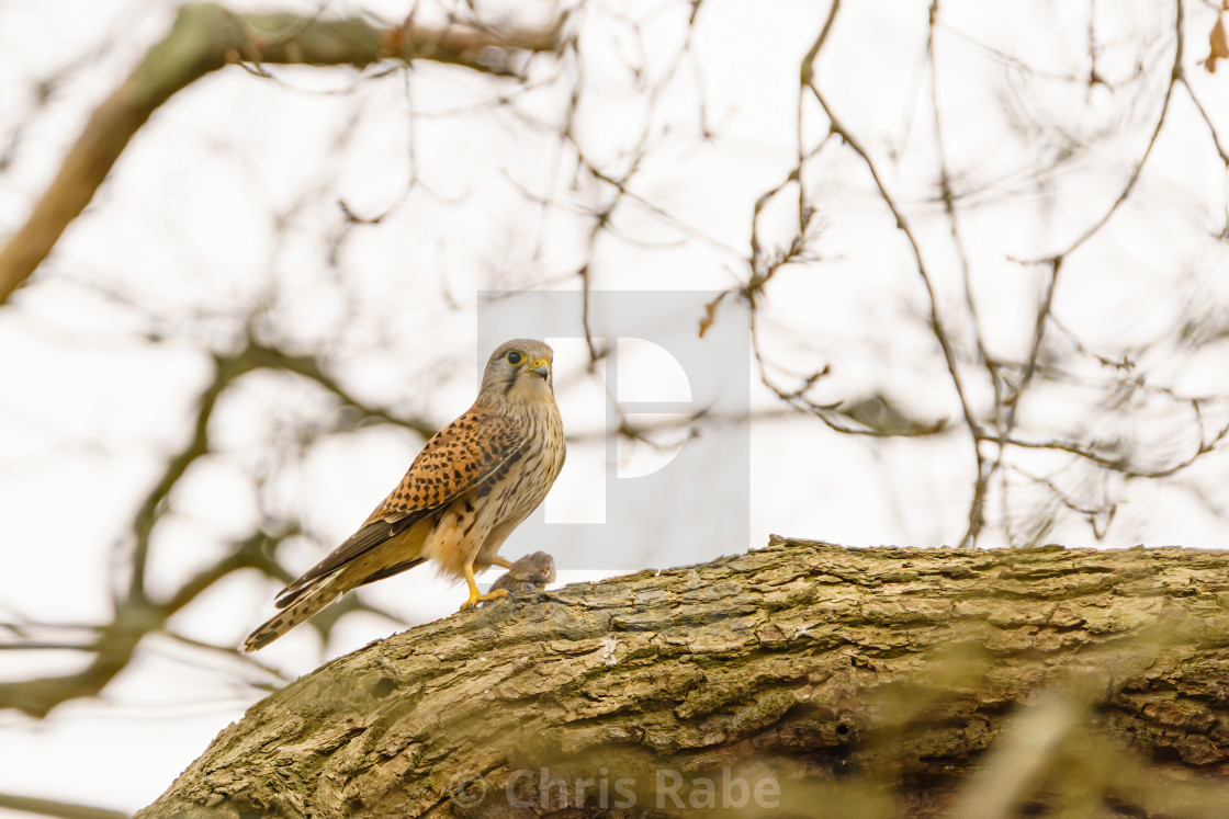 """Common Kestrel (Falco tinnunculus) with caught vole, taken in England"" stock image"