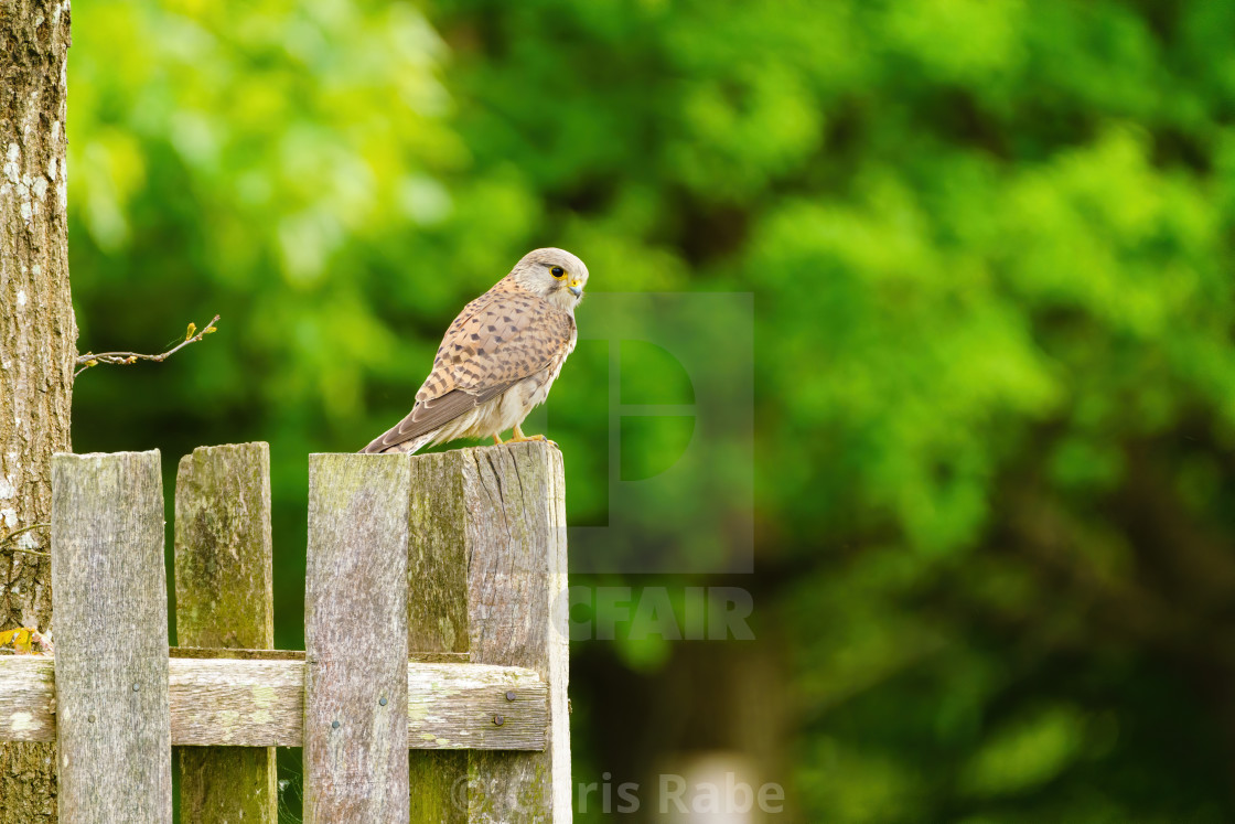 """Common Kestrel (Falco tinnunculus) perched on a fence, in London"" stock image"
