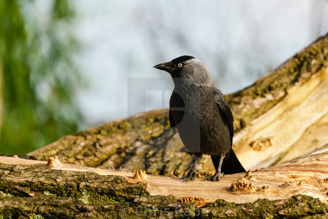 Jackdaw (Corvus monedula) perched on branch , taken in the UK