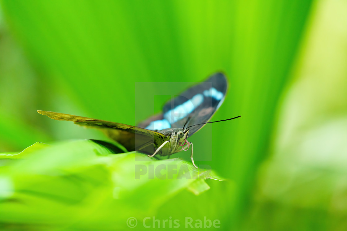 Blue admiral (Kaniska canace) butterfly perched on a plant leaf.