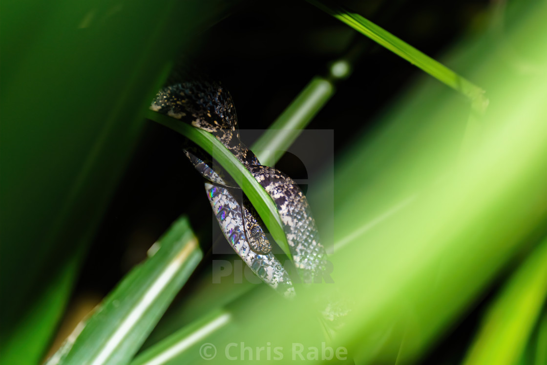"""Cloudy Snail-Eating Snake (Sibon nebulatus) in Costa Rica"" stock image"