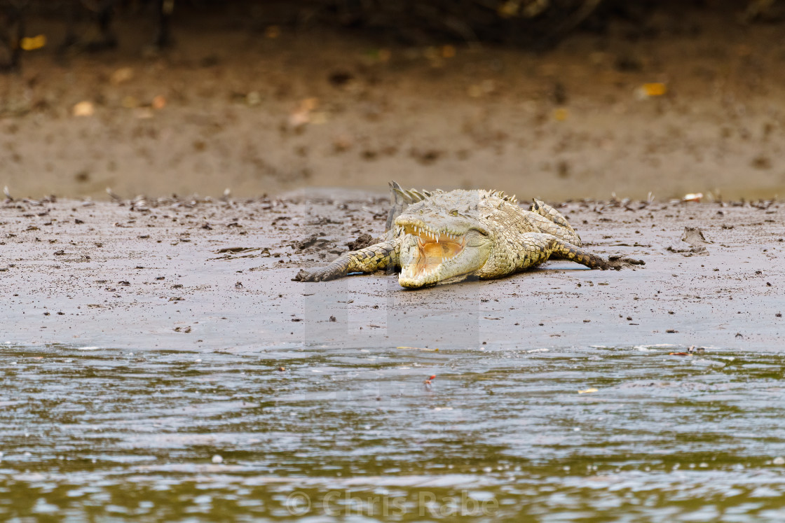 """American Crocodile (Crocodylus acutus) with mouth wide open, taken in Costa..."" stock image"