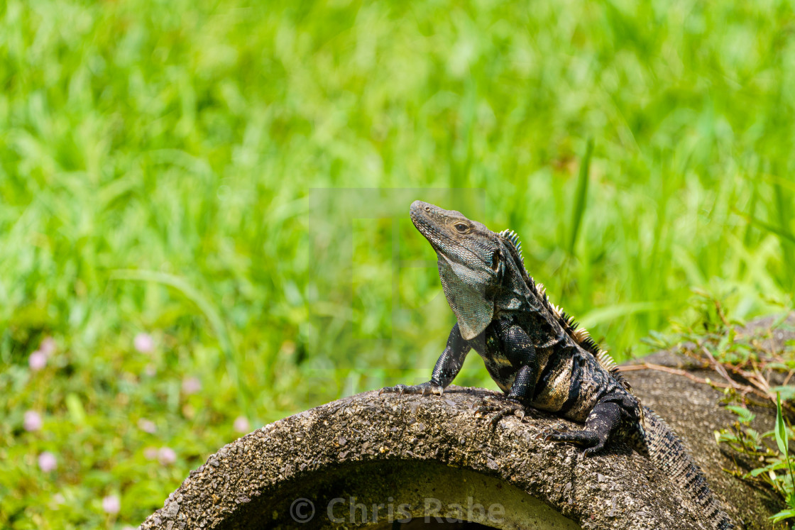 """Black Spiny Tailed Iguana (Ctenosaura similis) warming on a cement block,..."" stock image"
