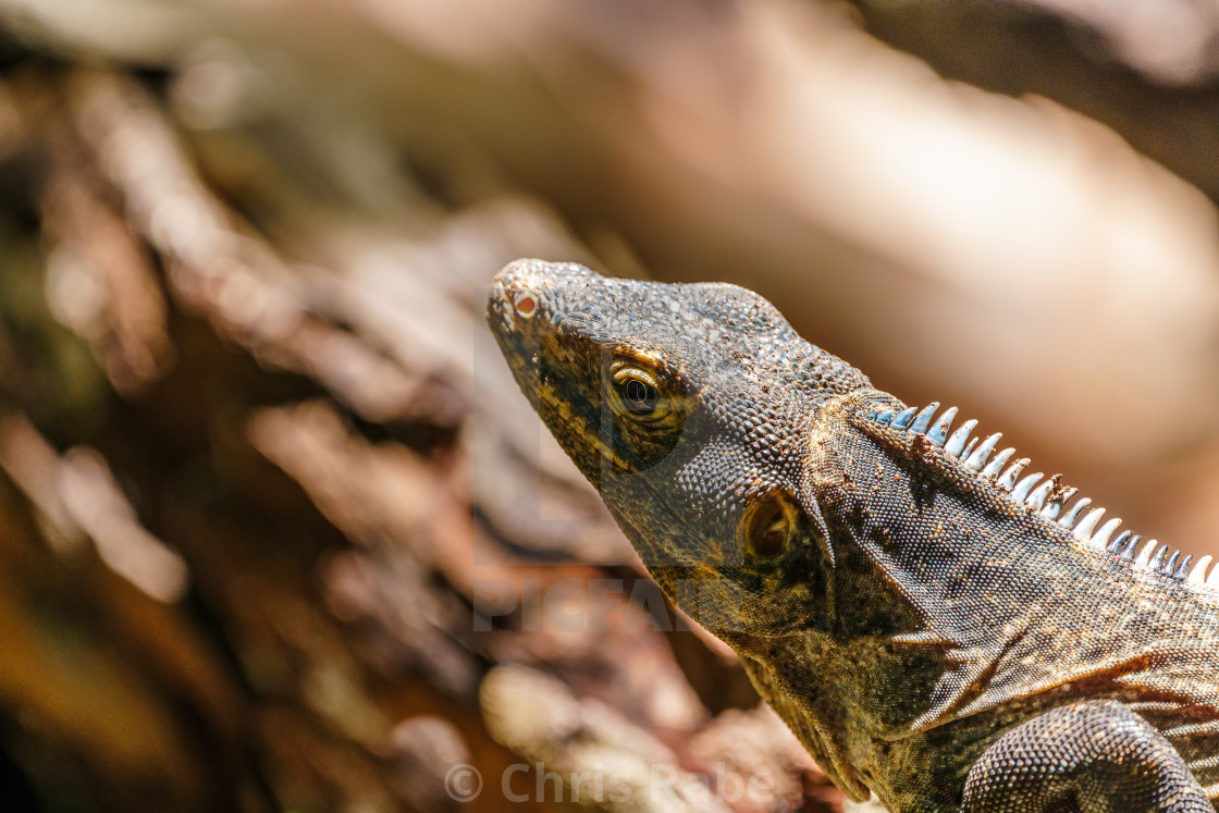 """Black Spiny Tailed Iguana (Ctenosaura similis) portrait, taken in Costa Rica"" stock image"